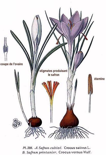 File:328 Crocus sativus L., C. vernus Wulf.jpg