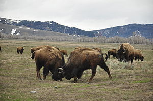 Two bison are fighting in Grand Teton National...