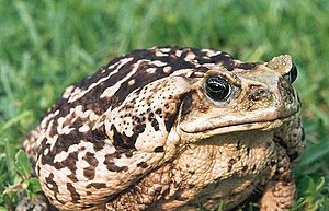 The massive and destructive Cane Toad ranks as...