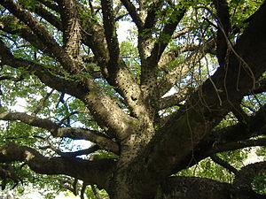 Chorisia speciosa (Palo Borracho), also called...