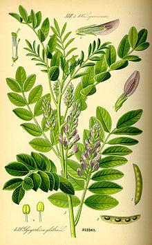 Illustration Glycyrrhiza glabra0.jpg