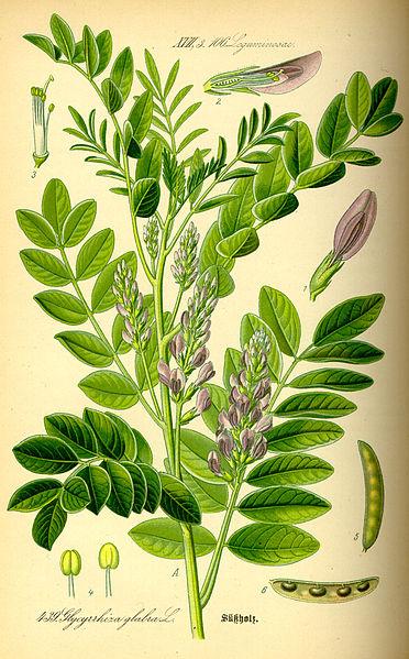 File:Illustration Glycyrrhiza glabra0.jpg