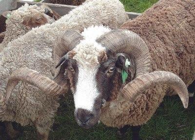 Arapawa sheep - Wikipedia