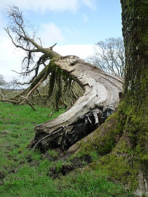 English: Ash tree cleaved by a lightning bolt