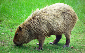 English: Photo of a Capybara, formatted (and s...