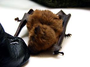 A female big brown bat, Eptesicus fuscus, thir...