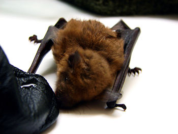 A female big brown bat, Eptesicus fuscus, thir...