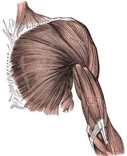 Pectoral fascia  Wikipedia