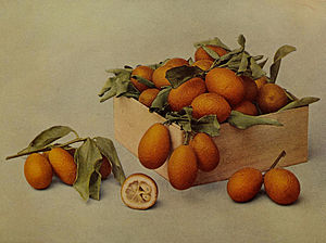 English: Fortunella (Kumquat)