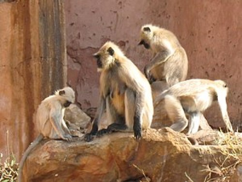 English: Monkeys in Jaipur, India. I don't kno...