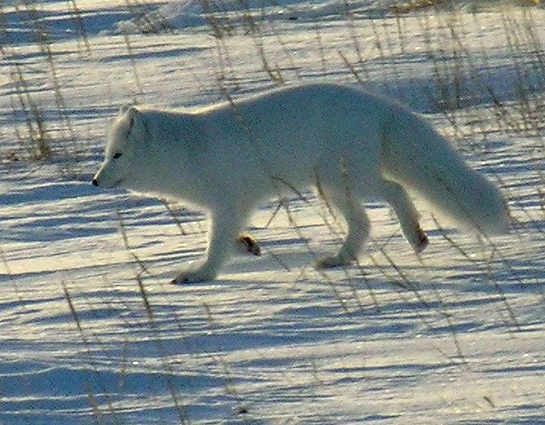 File:Polarfuchs 1 2004-11-17.jpg