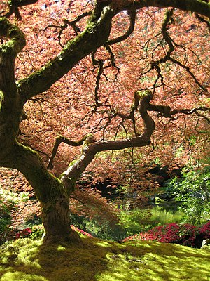 A Japanese Maple (Acer palmatum) in the Portla...