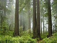 Parco nazionale del Redwood, nebbia nella foresta jpg