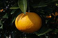 Citrus kawanonatsudaidai fruit.jpg