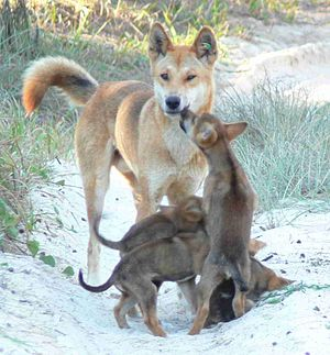 a male dingo with pups