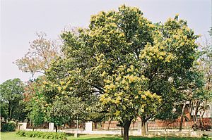 Mango tree with flowers