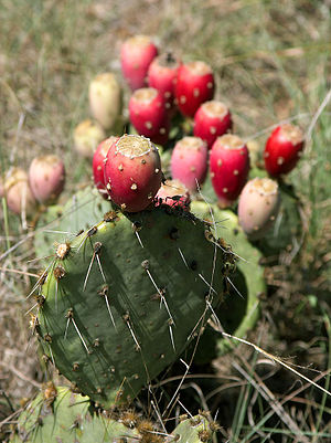 Typical habitus of an Opuntia with fruit