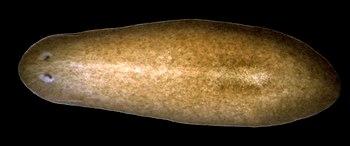English: The planarian Schmidtea mediterranea