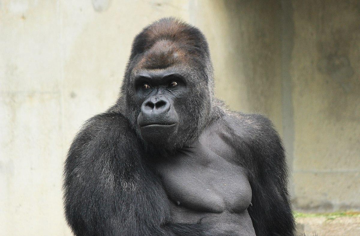 shabani gorilla wikipedia