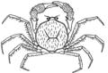 Amarinus lacustris.png