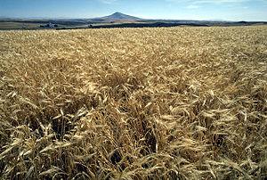 Barley is a major animal feed crop.