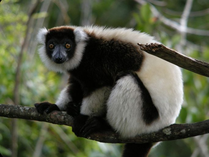 Black-and-White Ruffed Lemur, Mantadia, Madagascar