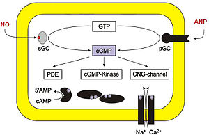 English: Drawing showing targets of cGMP in cells