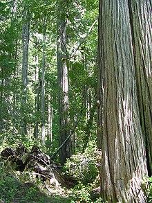 Chamaecyparis Lawsoniana Wikipedia