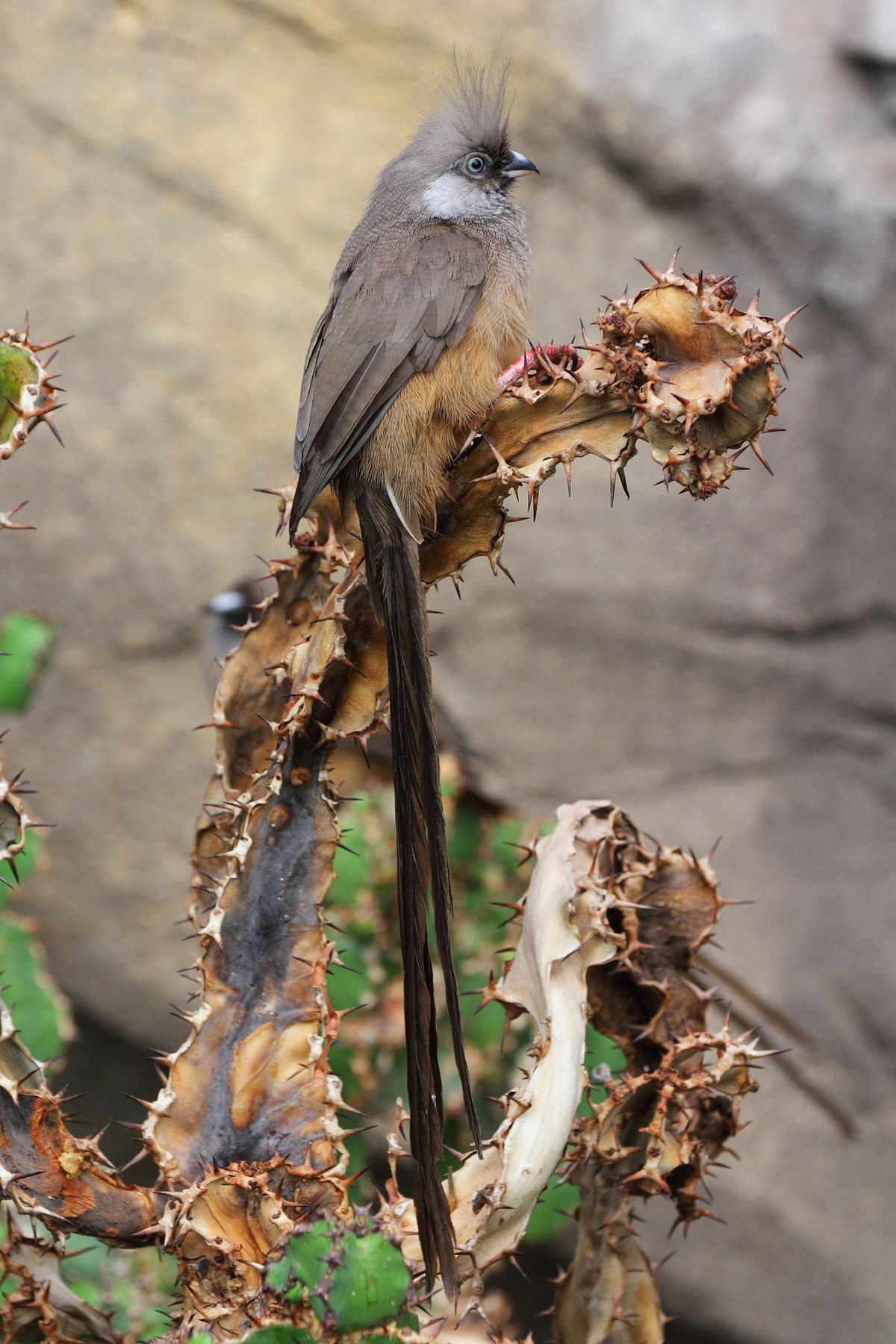 Speckled Mousebird Wikipedia