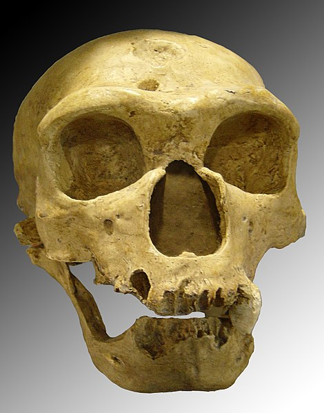 File:Homo sapiens neanderthalensis.jpg