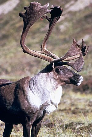English: Caribou, Reindeer in Alaska