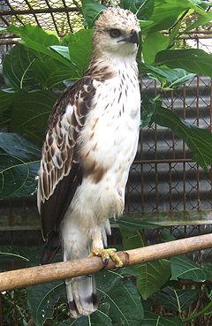 Anak jenis S. c. limnaeetusCarita, Pandeglang, Banten