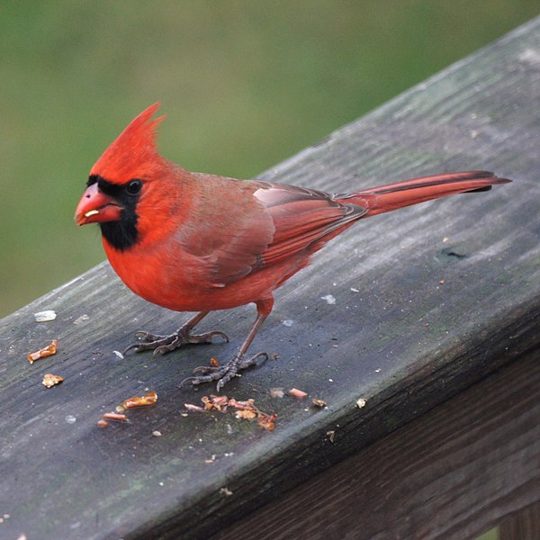 File:Northern Cardinal (5210391848).jpg