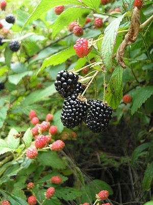 Berries of the blackberry plant