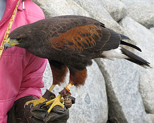English: Harris' Hawk (Parabuteo unicinctus)