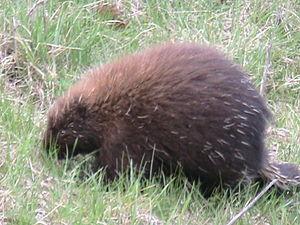 A porcupine forages along the Maine Turnpike i...