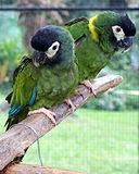 Primolius auricollis -Panaewa Rainforest Zoo, Hawaii, USA -two-8b-2c.jpg