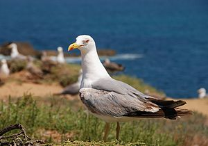 English: An adult seagull (Larus michahellis)