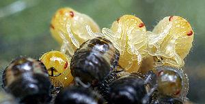 English: Some emerging stink (or shield) bug n...
