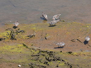 English: Western Sandpipers in Bolsa Chica Eco...