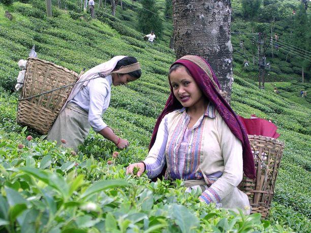 History of tea in India - Wikipedia
