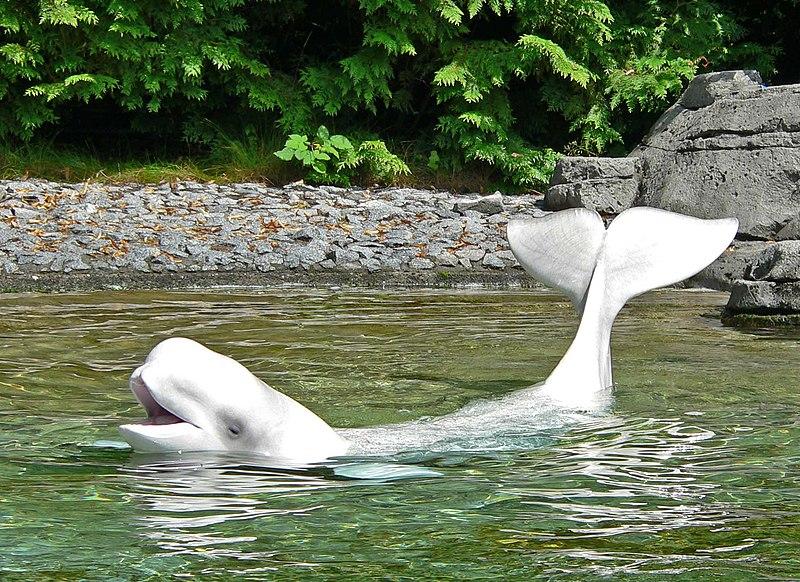 Freundlicher Beluga