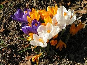 Frühlingsblumen verschiedene Krokusse