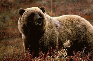 English: Brown Bear
