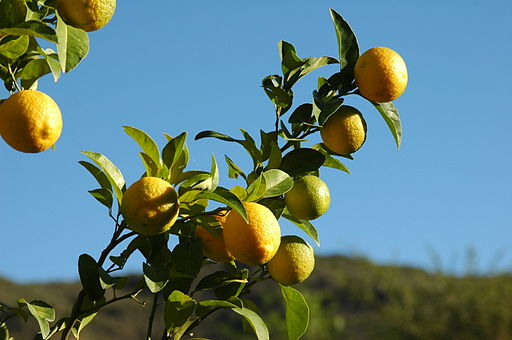 Lemon tree 002