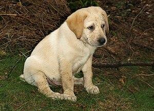 labrador puppy at age 2 months
