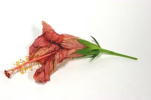 English: Withered Hibiscus Italiano: Fiore d'i...