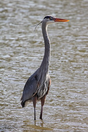English: Adult Great Blue Heron (Ardea herodia...