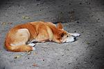 Dingo-australian zoo.jpg