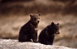 Grizzly bear (Ursus arctos horribilis) cubs.